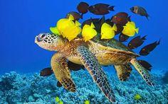 Green Sea Turtle cleaned by Surgeonfishes Chelonia mydas Kona Coast Big Island Pacific Ocean Hawaii USA © WaterFrame / Alamy Underwater Creatures, Underwater Life, Ocean Creatures, Underwater Animals, Sea Turtle Pictures, Animal Pictures, Ocean Pictures, Animals Beautiful, Cute Animals