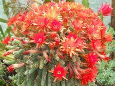 Echinopsis chamaecereus (Peanut Cactus) → Plant characteristics and more photos at: http://www.worldofsucculents.com/?p=821