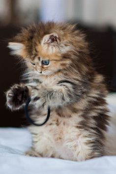 Could This Kitten Be Any Fluffier | Cutest Paw