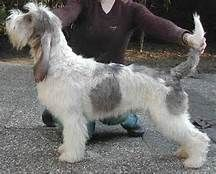 grand basset Griffon Vendeen - Yahoo Image Search Results