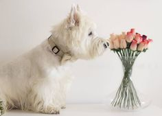 "149 Likes, 12 Comments - Charlie ""Ciacci"" (@ciacciwesty) on Instagram: ""Don't understand humans with fake flowers. I like to sniff real ones!"""