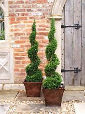 Buxus sempervirens (Common Box) Pyramids - Google Search