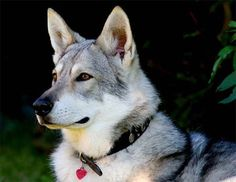 Saarloos Wolfhond, maybe someday I have one of my own...would love too..