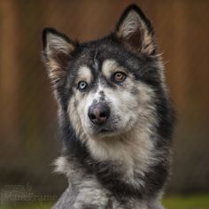 Willow the Siberian Husky