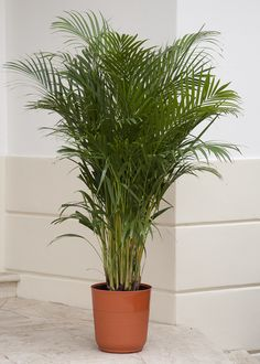 The Areca Palm is a bushy plant, aka the butterfly palm, and an interior decorator's dream plant. Feathery, light green fronds spread out gracefully from the trunk, appearing like a fountain of foliage. Areca palms also help purify the air by removing toxins. This native beautiful palm delivers exotic lushness to your home and patio. Bontanic name: Chrysalidocarpus lutescens or Dypsis lutescens Care tip: Mist regularly to help prevent spider mites.