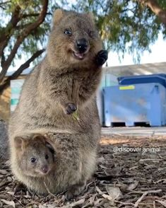 Mommy with her baby 💗 Via Cute Funny Babies, Cute Funny Animals, Cute Baby Animals, Happy Animals, Rare Animals, Animals And Pets, Cute Animal Videos, Funny Animal Pictures, Quokka Baby