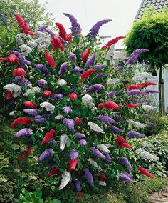 These fragrant butterfly bushes in 3 fabulous colours will attract plenty of butterflies to the garden. We supply 3 separate plants in the following varieties Royal Red, White Profusion and.