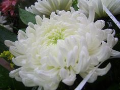 Pure white Chrysanthemum and a great post on these fantastic flowers. Tulips Flowers, White Flowers, Planting Flowers, Beautiful Flowers, Rare Flowers, Edible Flowers, Flower Images Free, Crysanthemum, Cute Kittens
