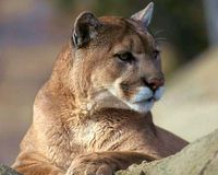 Relocation for Mountain Lions- Not Trap and Kill. http://www.thepetitionsite.com/976/389/640/relocation-for-mountain-lions-not-trap-and-kill/#