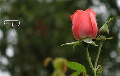 The sleeping Rose by Khalid_Fineza  Details
