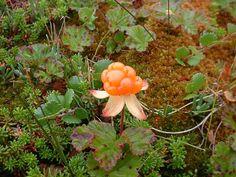 M19: Rubus chamaemorus. Aerenchyma in roots