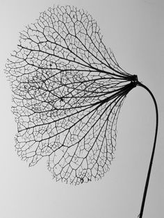 https://flic.kr/p/8MX2xn | All that is gone | The skeletal remains of a Hydrangea petal. Hoogezand, The Netherlands.