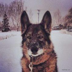 The Mayor of HeidiTown's kid.  :-)  #furkid #GermanShepherd #dogs #bestfriend #GSD