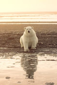 Polar Bear Sitting On Beach bySteven Kazlowski