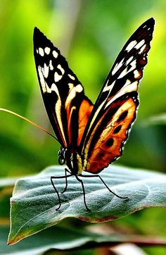 Different Types of Butterflies The Effective Pictures We Offer You About Insects fashion A quality picture can tell Butterfly Effect, Butterfly Kisses, Butterfly Flowers, Butterfly Wings, Butterfly Dragon, Monarch Butterfly, Types Of Butterflies, Flying Flowers, Photos Of Butterflies