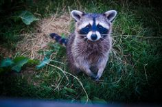 Don't forget‼️ Female raccoons are looking for nesting places until late May! ALCO Animal & Pest Control can remove these mama raccoons safely & humanely so they can comfortably give birth to their kits! Call for a free raccoon removal in NJ quote. Baby Racoon, Raccoon Removal, Human Babies, Animal 2, Fauna, Love Photos, Perfect Photo, Cute Baby Animals, Baby Sleep