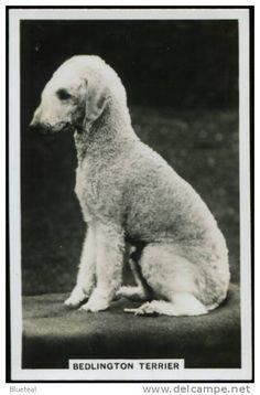 Bedlington Terrier dog chien cane perro hund original 1939 United Kingdom photo card.