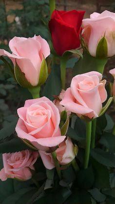 A lone red rose amongst pink long-stemmed ones! Beautiful Rose Flowers, Flowers Nature, Exotic Flowers, Amazing Flowers, My Flower, Pink Flowers, Beautiful Flowers, Red Roses, Foto Rose