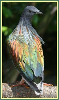 Solve Nicobar pigeon jigsaw puzzle online with 84 pieces Rare Birds, Exotic Birds, Colorful Birds, Exotic Pets, Pretty Birds, Beautiful Birds, Animals Beautiful, Nicobar Pigeon, Andaman And Nicobar Islands