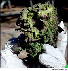 Huge Nug  #marijuana #cannabis #weed #kush #dank #pot #bud