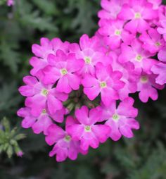 'Orchid Magic' Verbena