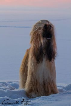 This Afghan Hound looks so elegant on an icy winter morning