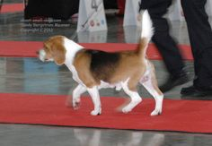 This cute Beagle is trotting off, bushy tail held high.