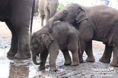 baby elephants... Looking out for little sis.
