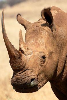 White rhinoceros, also known as the square-lipped rhinoceros (Ceratotherium simum). African Rhino, African Animals, Safari Animals, Nature Animals, Rhino Facts, White Rhinoceros, Wild Animals Photography, Wildlife Photography, Photography Tips