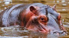 Download Wallpaper 1920x1080 Hippopotamus, Water, Face, Swim, Hunt ...