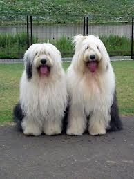 Old English Sheep dogs Old English Sheepdog Puppy, Animals And Pets, Cute Animals, Dog Quotes Love, Smiling Dogs, Beautiful Dogs, Dogs And Puppies, Doggies, Pet Birds