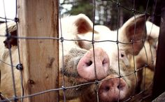 How pig farms might Poison Iconic Lake Superior if intervention does not occur