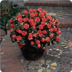 There are so many reasons why Fiesta Double Impatiens make awesome plants! They are easy-care varieties that don't require home gardeners to remove old blooms. But the best feature of these pretty plants is the fully-double flowers that look like miniatur Balcony Garden, Garden Pots, Double Impatiens, Patio Trees, Sun Plants, House Plants, Short Plants, Colorful Plants, Gardens