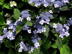 Hydrangea serrata 'Blue Bird' - love these