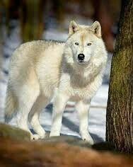 Prachtige witte wolf !!