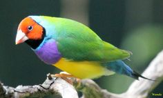 Gouldian Finch Male  Wildlife Sydney