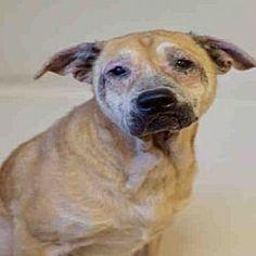 Atlanta, Georgia - Labrador Retriever. Meet DARLA, a for adoption. https://www.adoptapet.com/pet/20144167-atlanta-georgia-labrador-retriever-mix