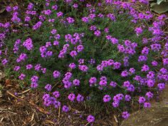 Vivers Càrex - Verbena tenuisecta