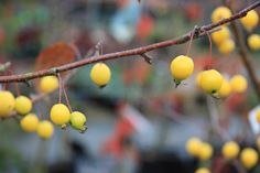 John Massey of Ashwood Nurseries: the best yellow crab apple is Malus 'Comtesse de Paris' -an elegant tree with pearl-like golden fruit which hang down from slender red stalks. From The Dahlia Papers.