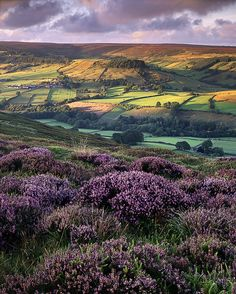 Heather, North York moors, UK.  Photo by Ross J Brown..... I love this. I can almost hear Heathcliffe...
