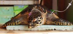 Call+911+to+save+the+turtles!