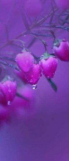 purple ✿  flower buds with dewdrops