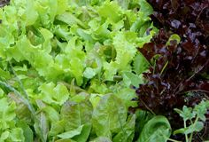 Growing cutting lettuce on your balcony - Grow The Planet
