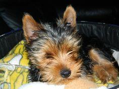 Yorkies, Little Dogs, Yorkshire Terrier, Decor Ideas, Animals, Doggies, Animales, Yorkie, Animaux