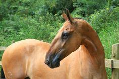 Campolina.horse-Roman nose.
