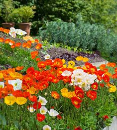 Buy Papaver nudicaule 'Champagne Bubbles Mix' from Sarah Raven: Champagne Bubbles way out-stripped all other poppies in our Perch Hill trial. Mix of white, pink, yellow & tones of orange. Long Flowers, Happy Flowers, Cut Flowers, Beautiful Flowers, Beautiful Gardens, Hydrangea Arborescens Annabelle, Hydrangea Potted, Bubble Mix, Planters