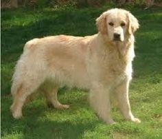 pesos de perros de raza golden retriever - Buscar con Google