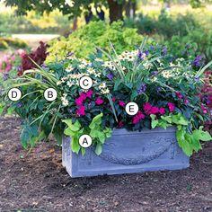 A. Sweet potato vine (Ipomoea batatas 'Margarita') -- 2  B. Flax lily (Dianella tasmanica 'Variegata') -- 3  C. Zinnia haageana 'Star White' -- 3  D. Salvia guarantica 'Black and Blue' -- 2  E. New Guinea impatiens (Impatiens 'Sonic Sweet Purple') -- 3