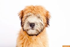 Rigby the Soft Coated Wheaten Terrier Puppy