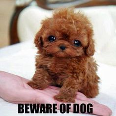 Micro Teacup Poodle puppy, they are cute but I would wonder about their safety. Micro Teacup Poodle, Teacup Poodle Puppies, Tea Cup Poodle, Teacup Dogs, Teacup Maltese, Teacup Animals, Yorkie Puppy, Chihuahua, Tiny Puppies